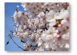 桜、満開。|長岡三古老人福祉会