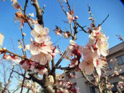 桜 開花しました|長岡三古老人福祉会