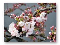 サクラサク|長岡三古老人福祉会