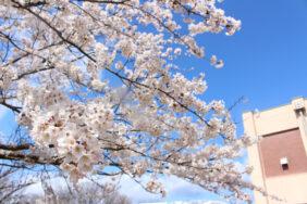 今年も桜が満開です。 長岡三古老人福祉会