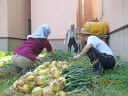 たまねぎ収穫!|長岡三古老人福祉会