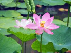 二千年蓮が咲きはじめました|長岡三古老人福祉会