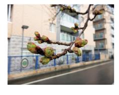 今日の桜|長岡三古老人福祉会