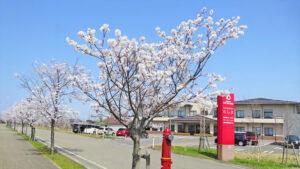 和島の桜並木|長岡三古老人福祉会