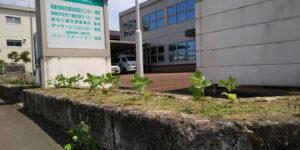 枝豆の苗を植えました|長岡三古老人福祉会