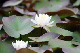 睡蓮と蓮の季節|長岡三古老人福祉会