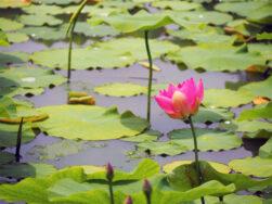 二千年蓮が咲きました|長岡三古老人福祉会