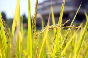 稲刈り|長岡三古老人福祉会